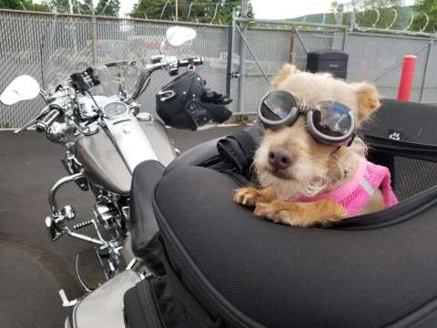 Riding a Motorcycle with your Dog!